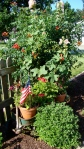 OLD WAGON, MARTHA WASH. GERANIUMS, HOLLY HOCKS & TRUMPET VINE