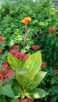 VERIGATED CANNA WITH BEE BALM