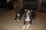 Our two babies...Presley and Jeter... posing for their 2012 pic.  They were 2 on December 7th...no party...it is a party everyday for them!